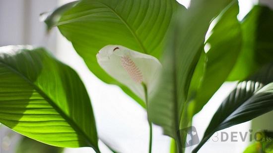 лилия лист фото