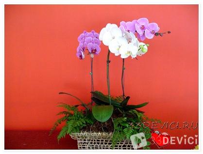 Домашняя орхидея фаленопсис