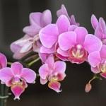 Размножение орхидеи фаленопсис и уход за ней