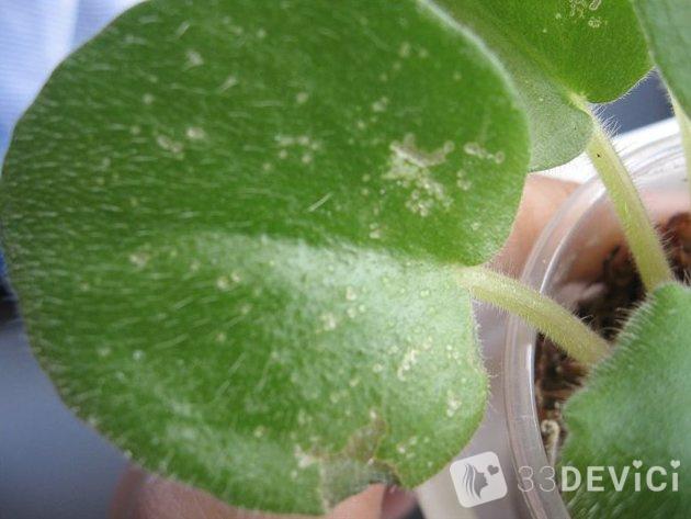 щитовка на листьях