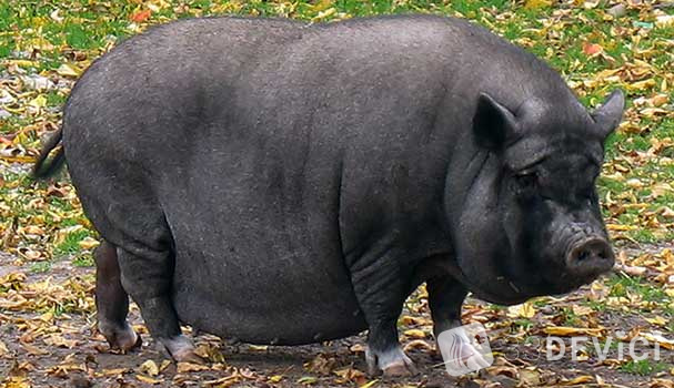 vietnamese-potbellied-pigs-5