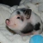 Мини Пиги — няшные пятачки и копытца