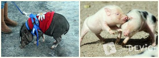 Сибирская миниатюрная свинка