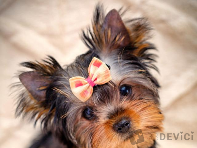 фото милых собачек с бантиком
