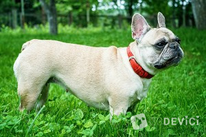 french-bulldog-001