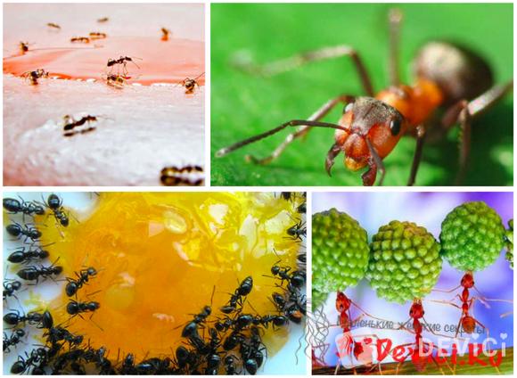 Опасность муравьёв