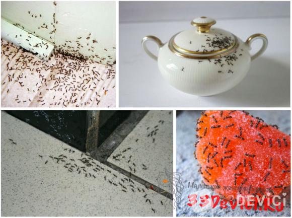 Рыжие и чёрные муравьи