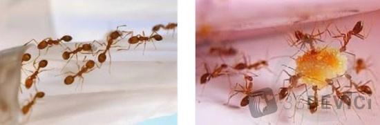 Как избавится от муравьёв в квартире