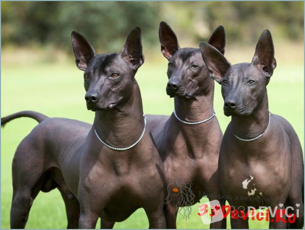 Мексиканская голая собака – ксолоитцкуинтли