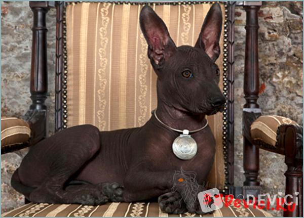 Ксолоитцкуинтли – порода собак с богатой историей