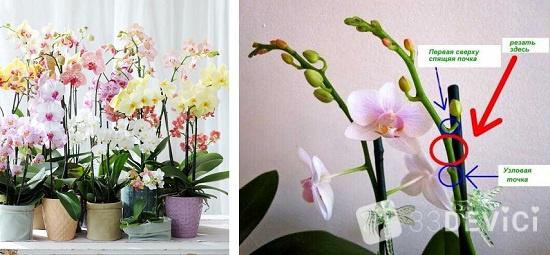 Температурный режим и обрезка орхидеи