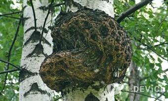 гриб чага полезные свойства и противопоказания
