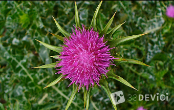 семена расторопши лечебные свойства и противопоказания