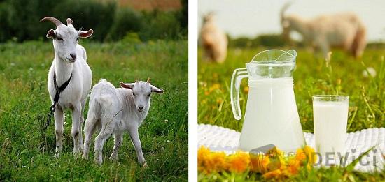 как сделать творог из козьего молока